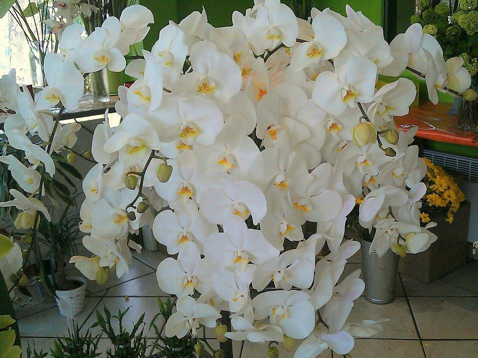 Orchidées - Acacia Fleurs - Fleuriste Cannes