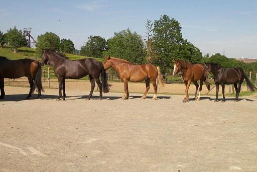 paddock-paradise-ecurie-active-hierarchie-chevaux-ethologie