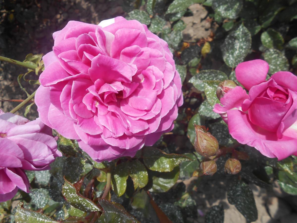 Sourire de Périgueux rosier buisson