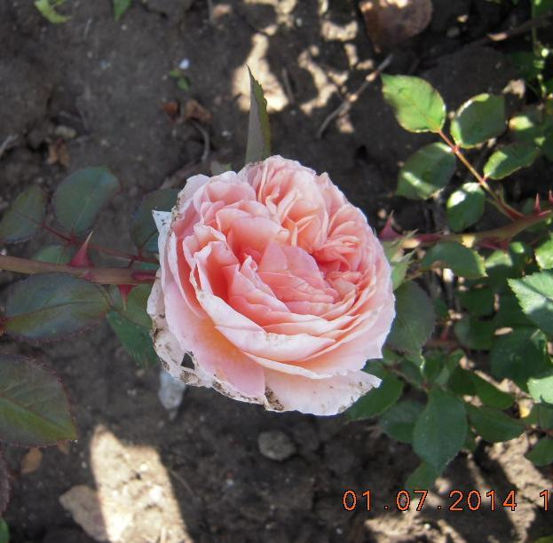Abraham Darby rosier buisson Anglais3