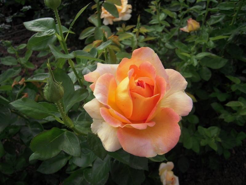 Arlequin rosier buisson