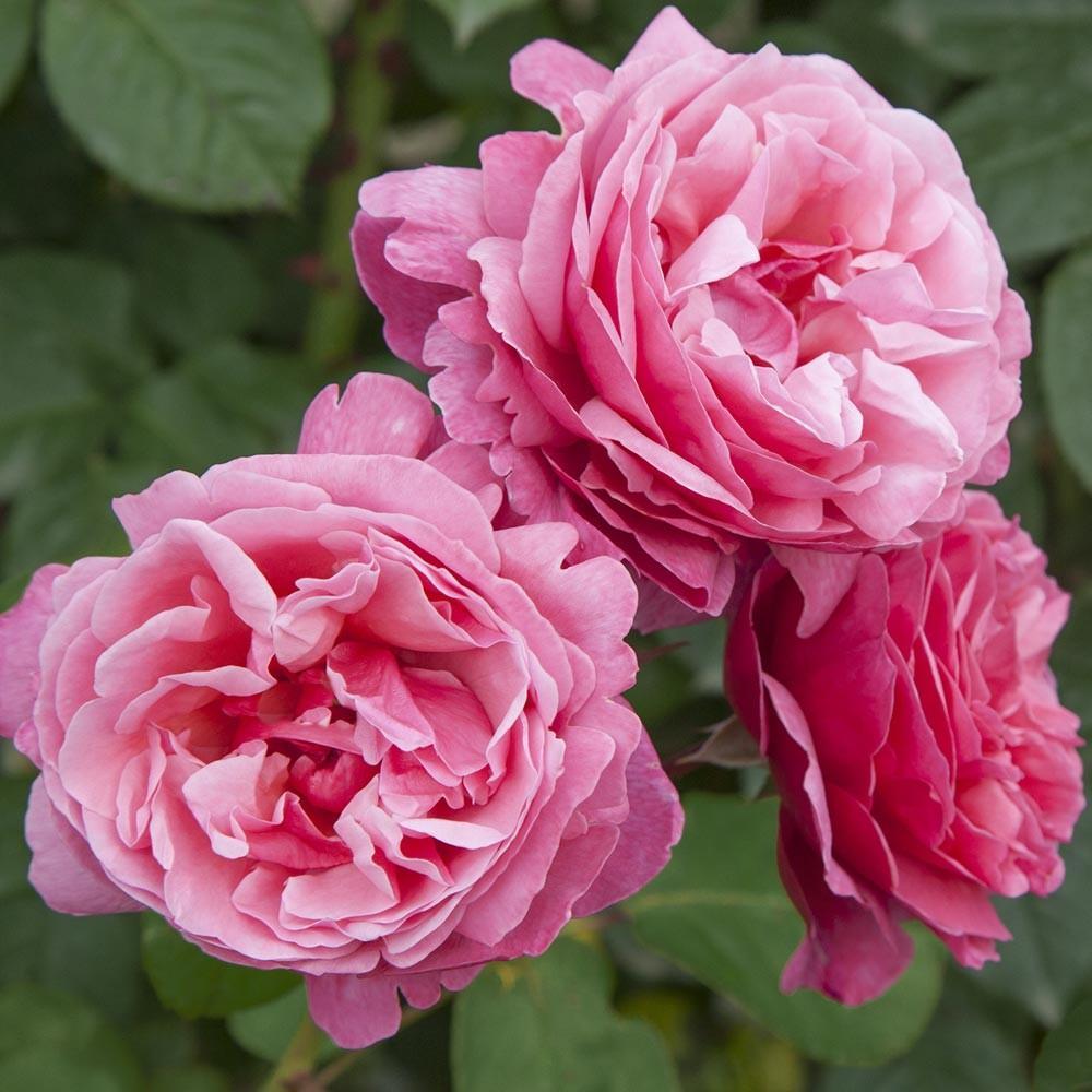Line Renaud rosier buisson