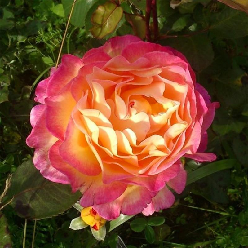Gorgeous rosier buisson