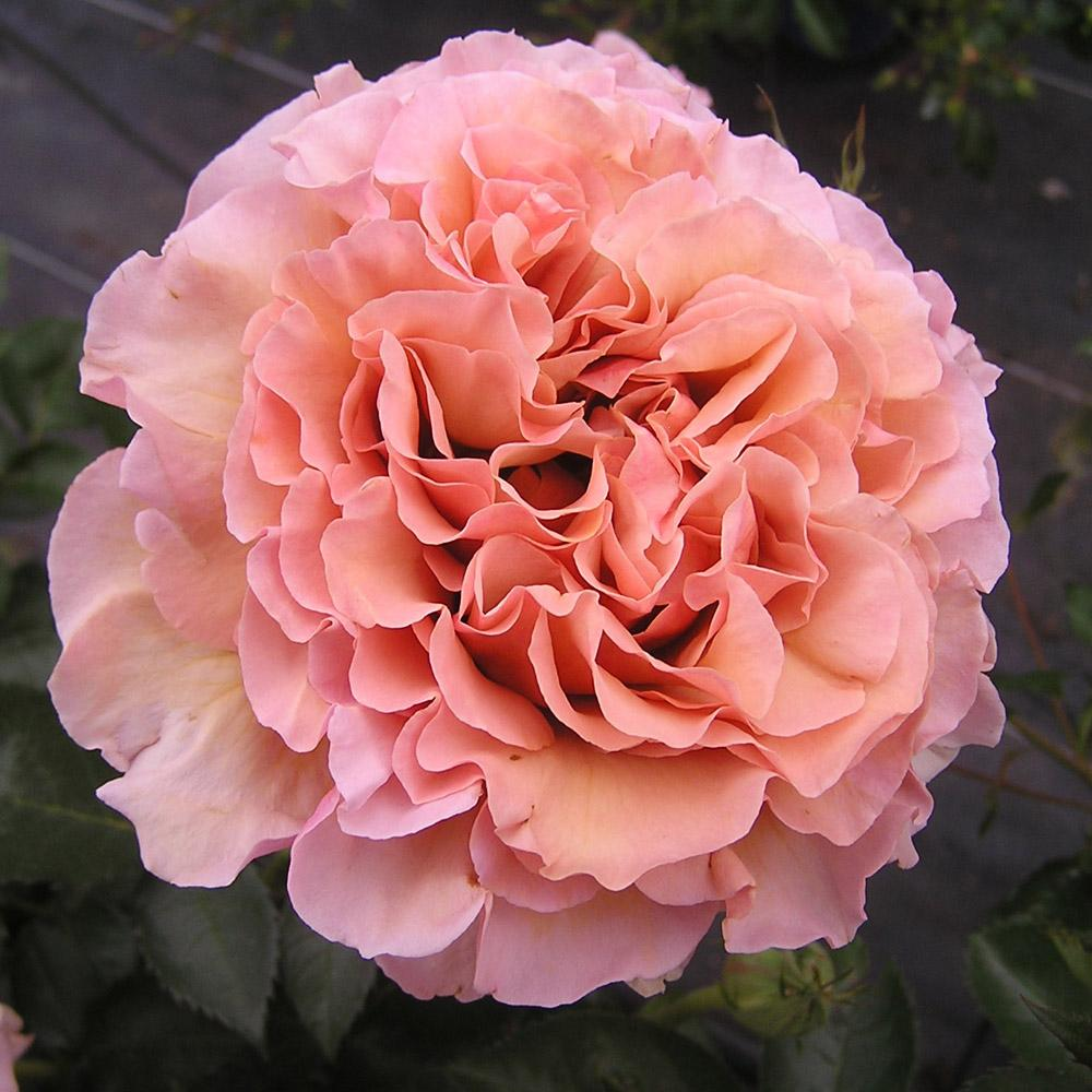 Saggittarius rosier buisson