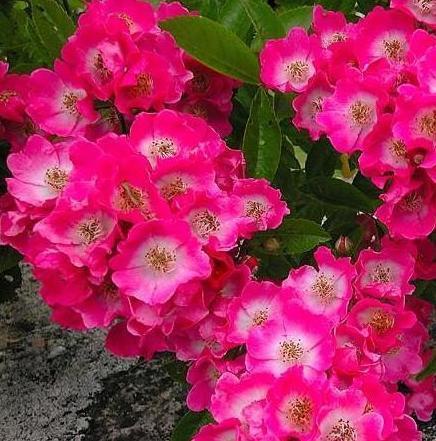 Maria Lisa rosier liane