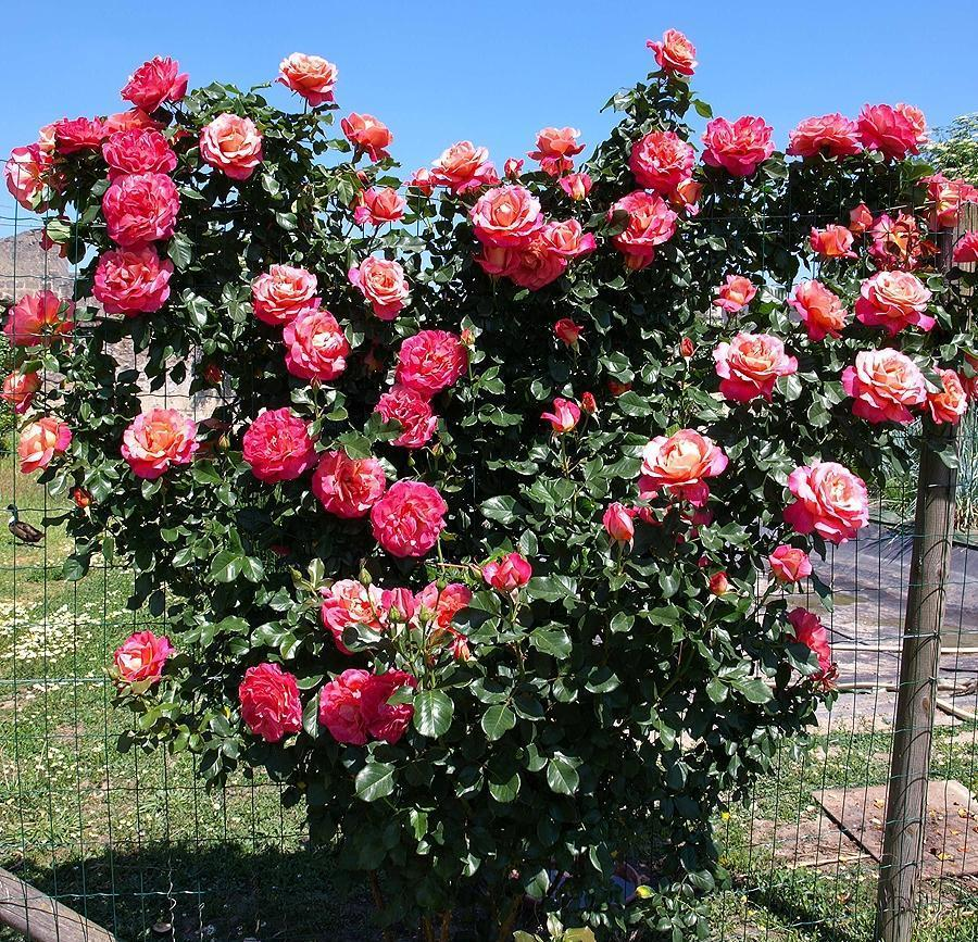 Belle Epoque rosier grimpant