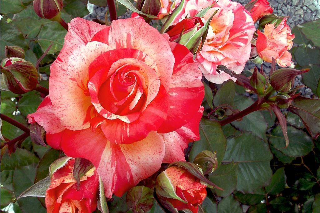 New Look rosier buisson