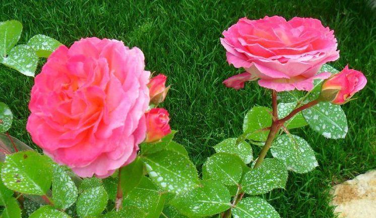 Chateau de Vertheuil rosier buisson