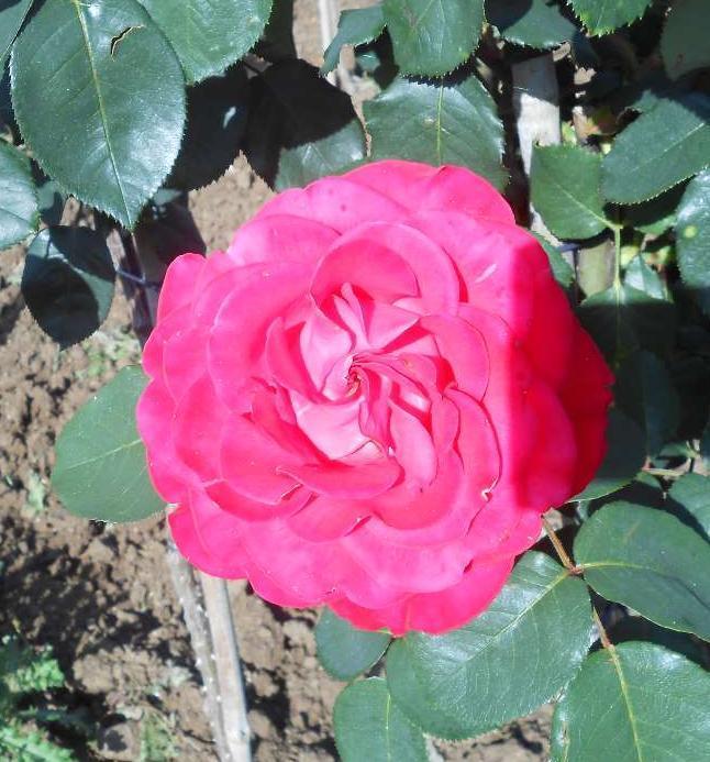 Dominica rosier buisson4