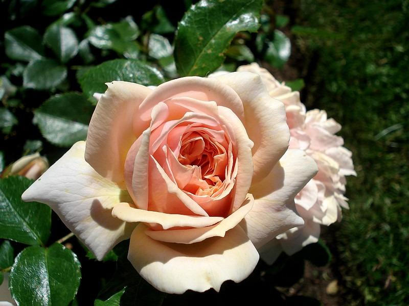 Crème Flower Circus rosier buisson
