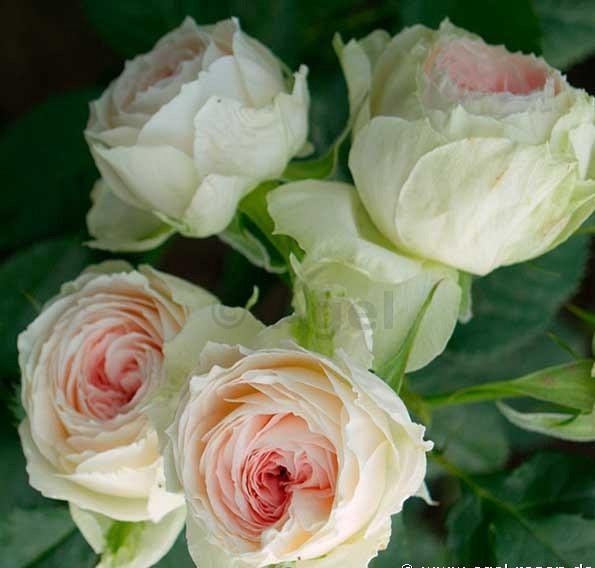 Pompon Flower Circus rosier buisson