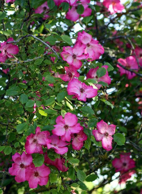 Roville rosier liane
