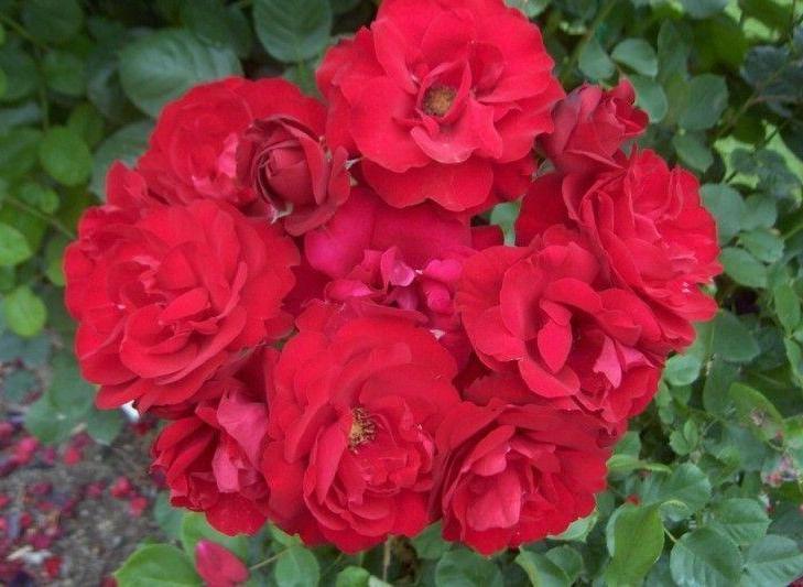 Lili Marleen rosier buisson