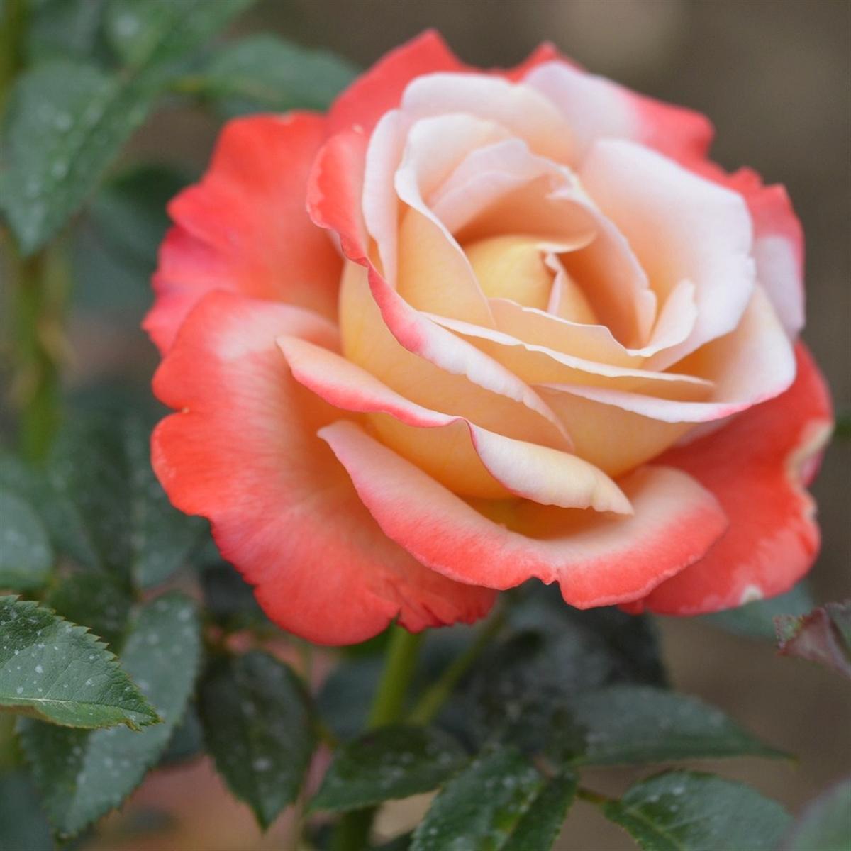 Vendée Impériale rosier buisson
