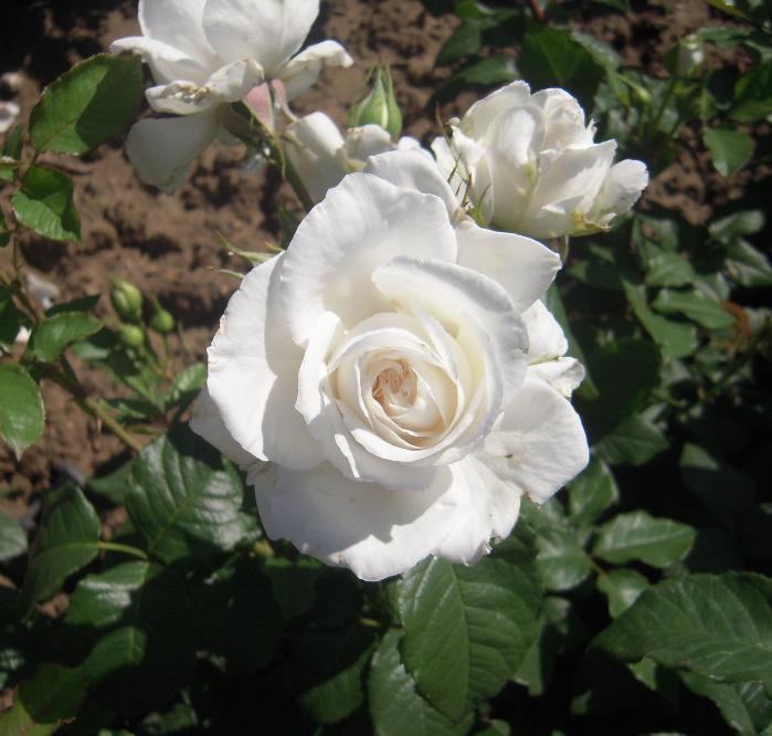Annapurna rosier buisson