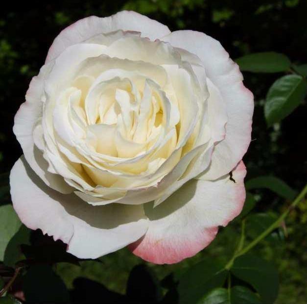 Galgala rosier buisson