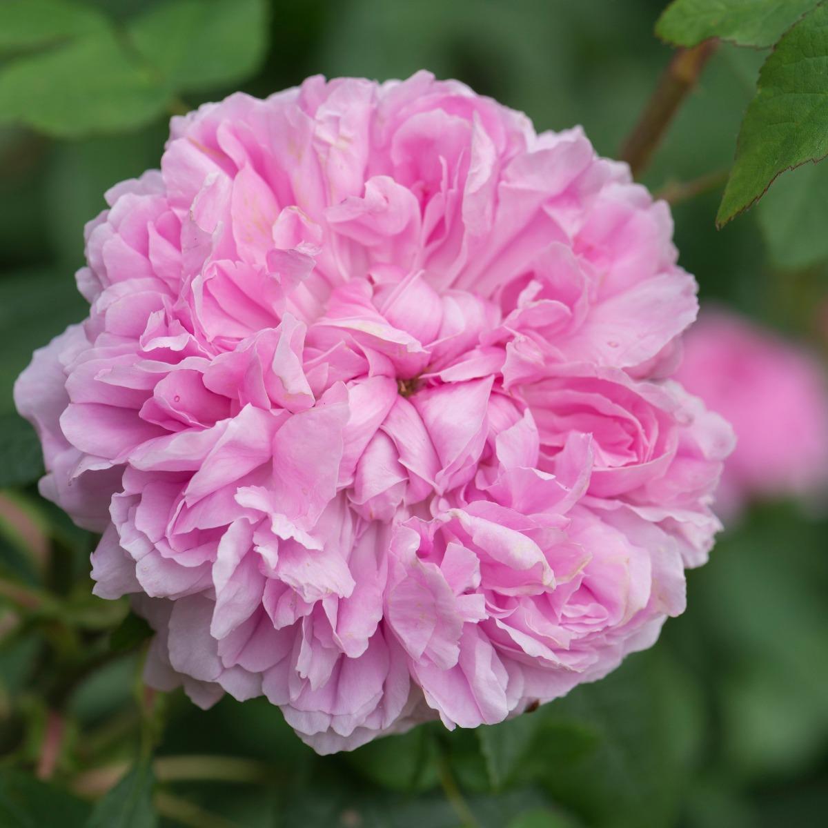 Jacques Cartier rosier buisson ancien
