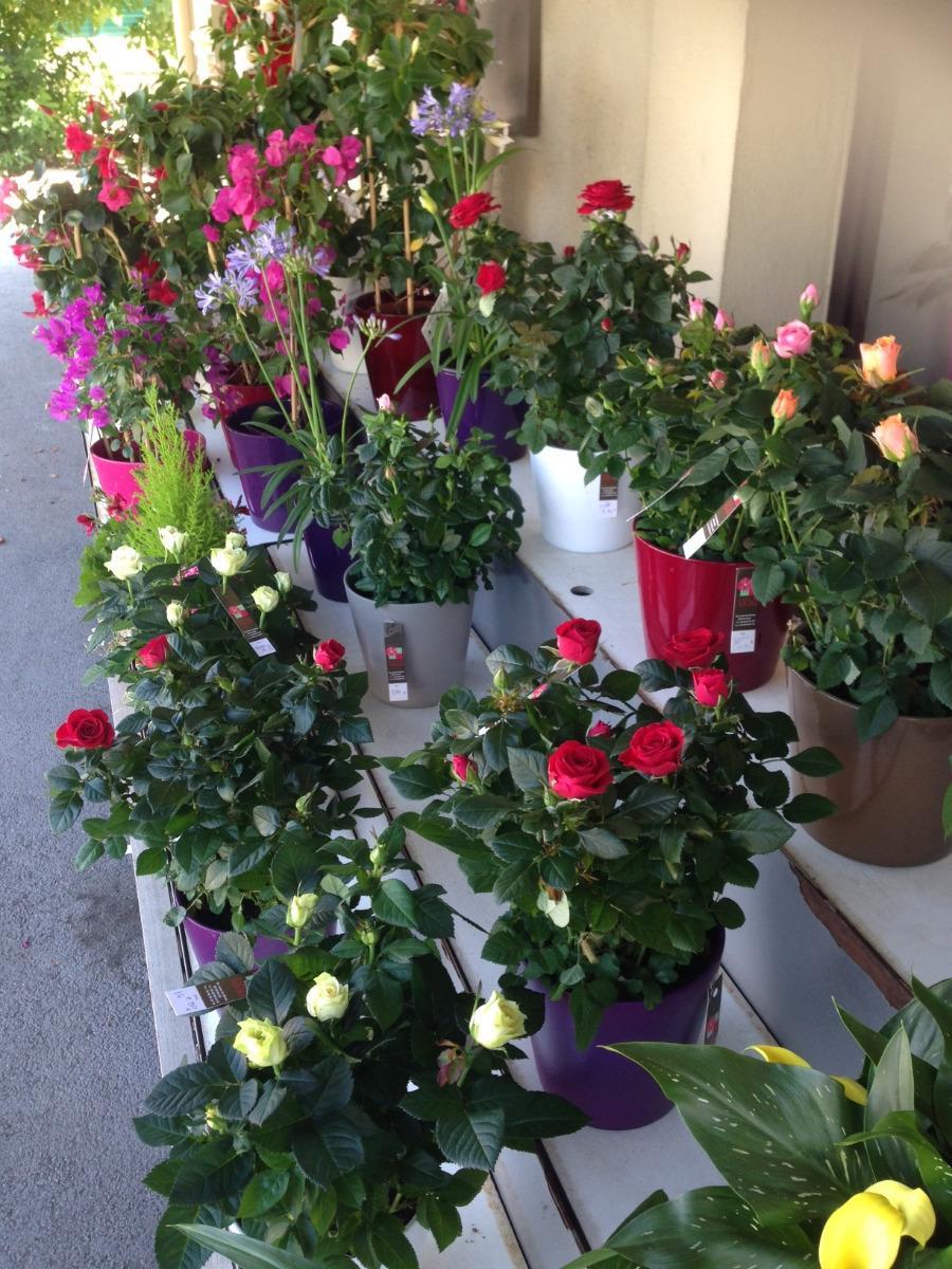 Vente de rosiers Lola Fleurs Alès