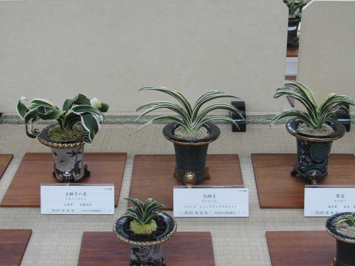 nos Omoto selectionnés au Manfuten Bonsai Barber