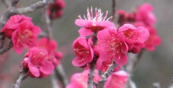 Prunus Mume : Abricotier Japonais Bonsai Barber