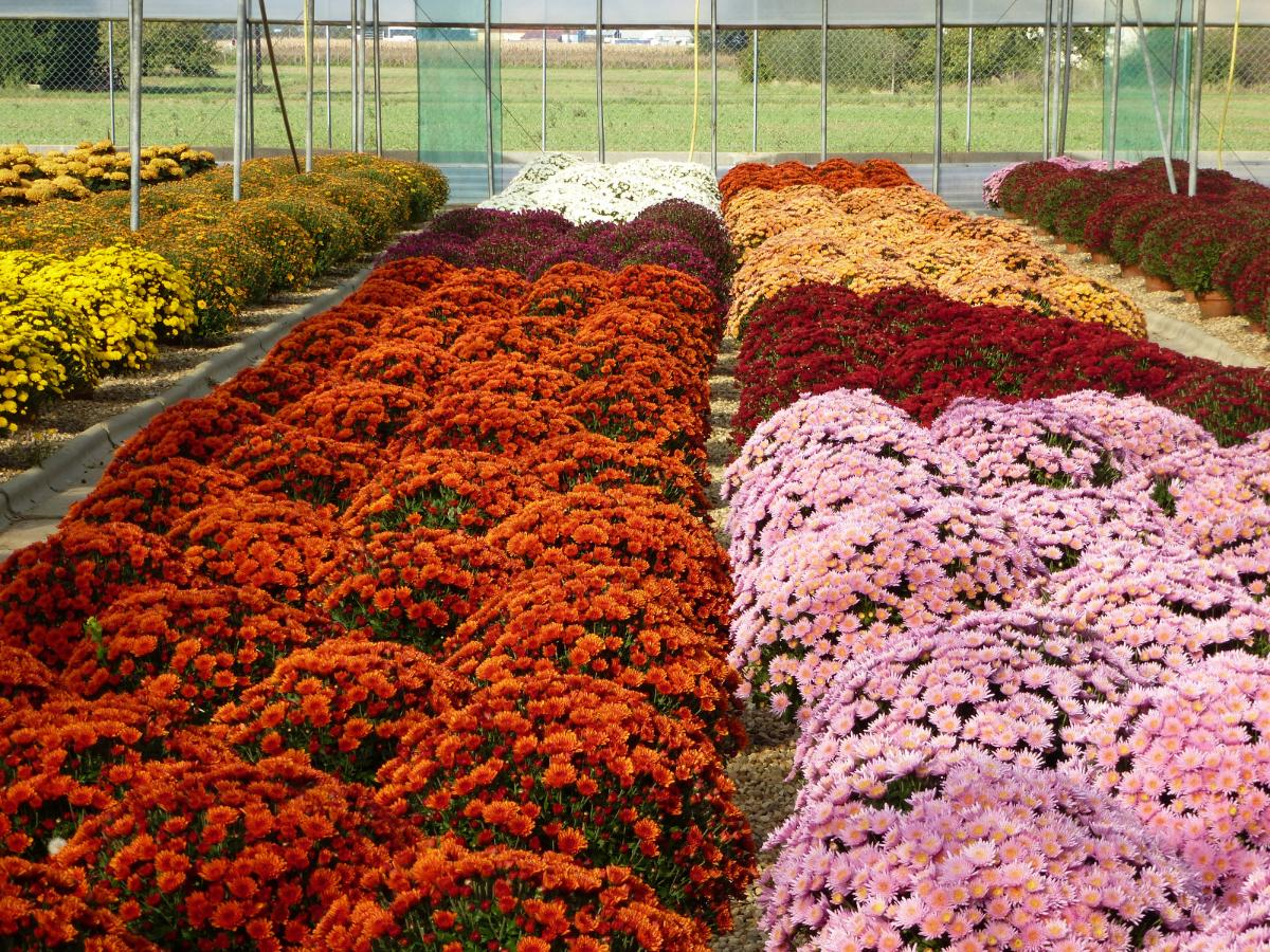 Chrysanthèmes pomponettes - Condamin EARL à Chasselay dans le Rhône (69)