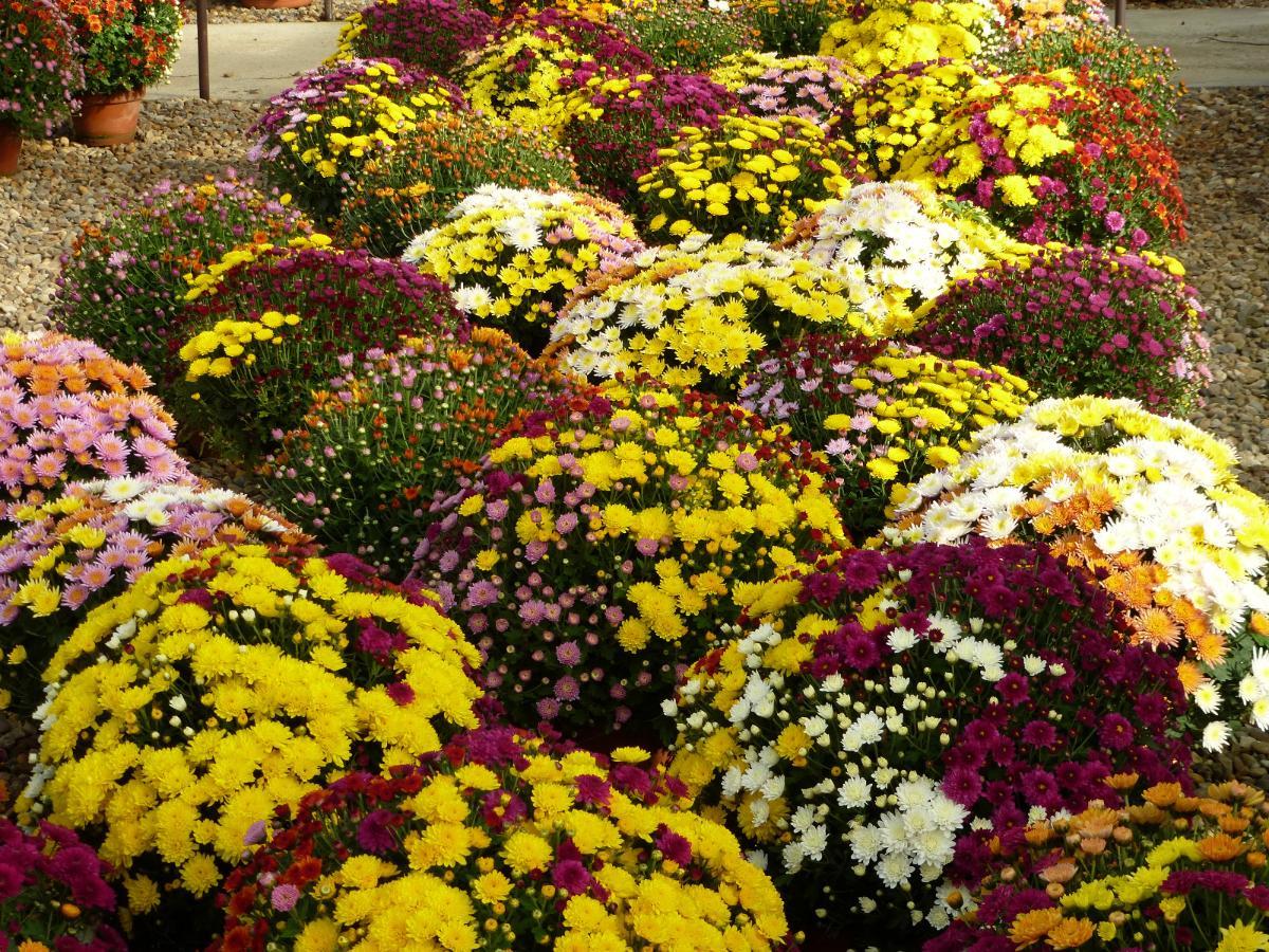 Chrysanthèmes Arlequins - Condamin EARL à Chasselay (69)